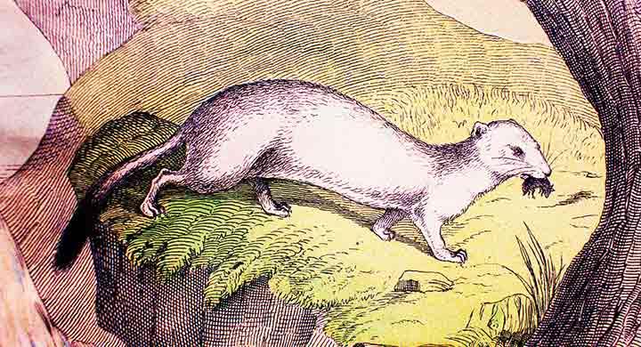 A short history of domestic ferrets