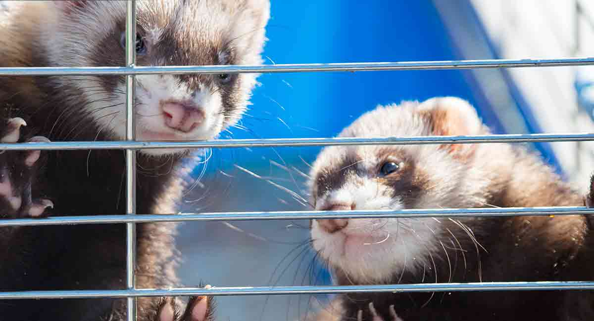 Are ferrets illegal in some places?