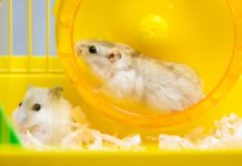 can two hamsters live together