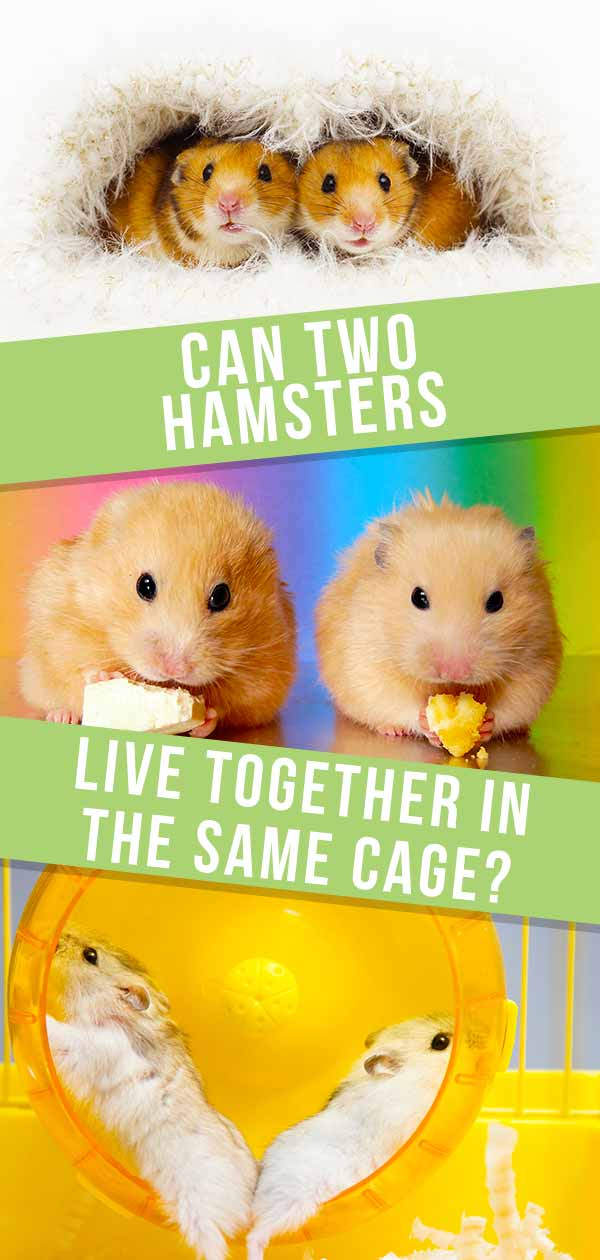 can two hamsters share a cage