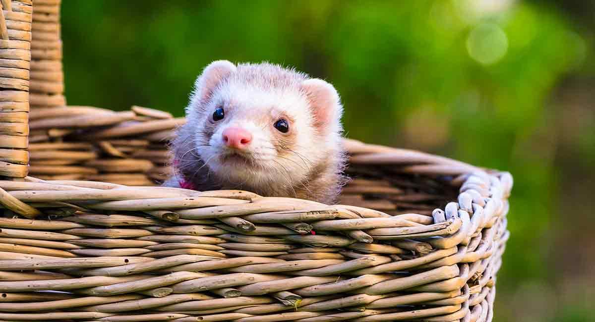Where do ferrets live?