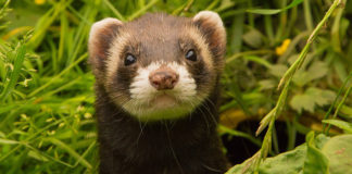 Where Do Ferrets Come From? A complete history of the wild ferret