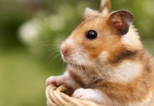 Where do hamsters come from - find out how hamsters became pets