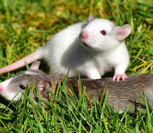 how to introduce rats
