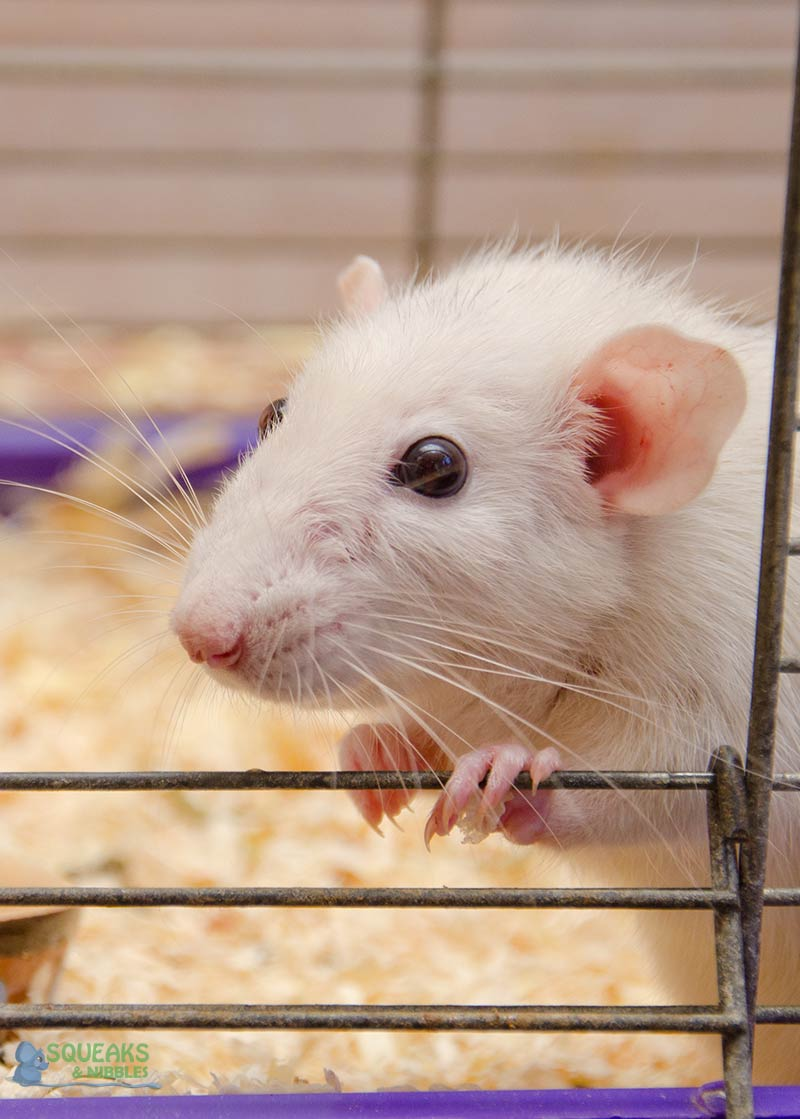 Introducing rats needs careful planning