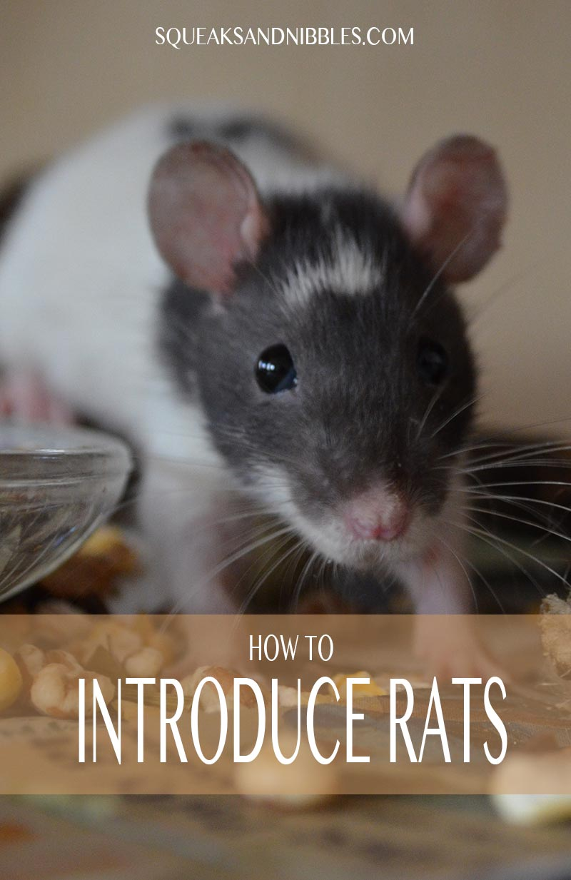 Introducing rats should be done with care, this guide explains how to do it safely