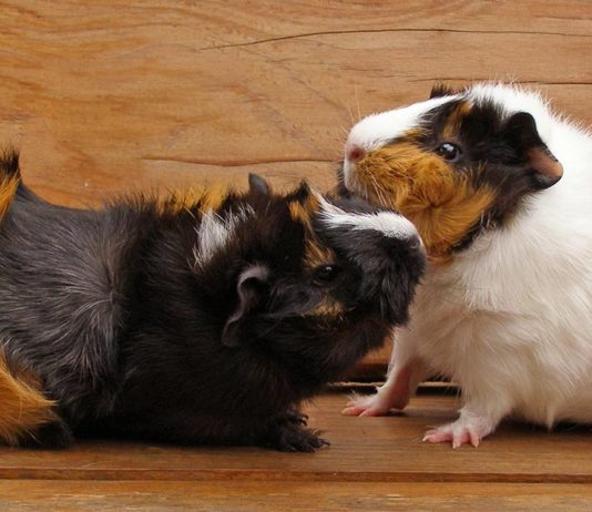What do guinea pigs play with