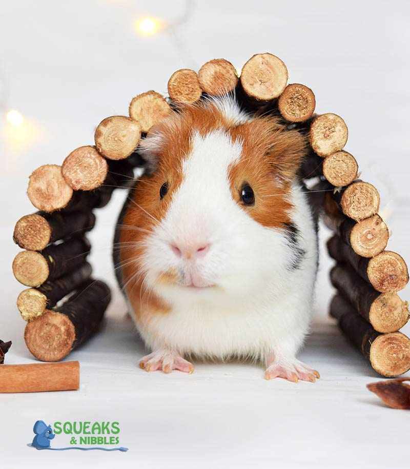 Can guinea pigs run on a wheel and other guinea pig toy questions answered