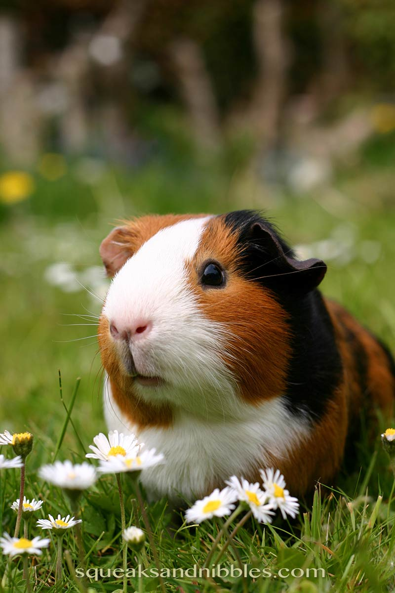 Find out what guinea pigs like to play with best!