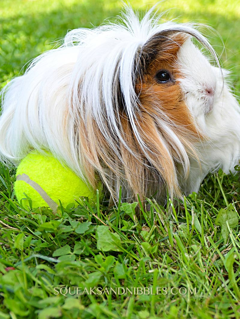 What can guinea pigs play with is a guide to safe toys for your pet piggies