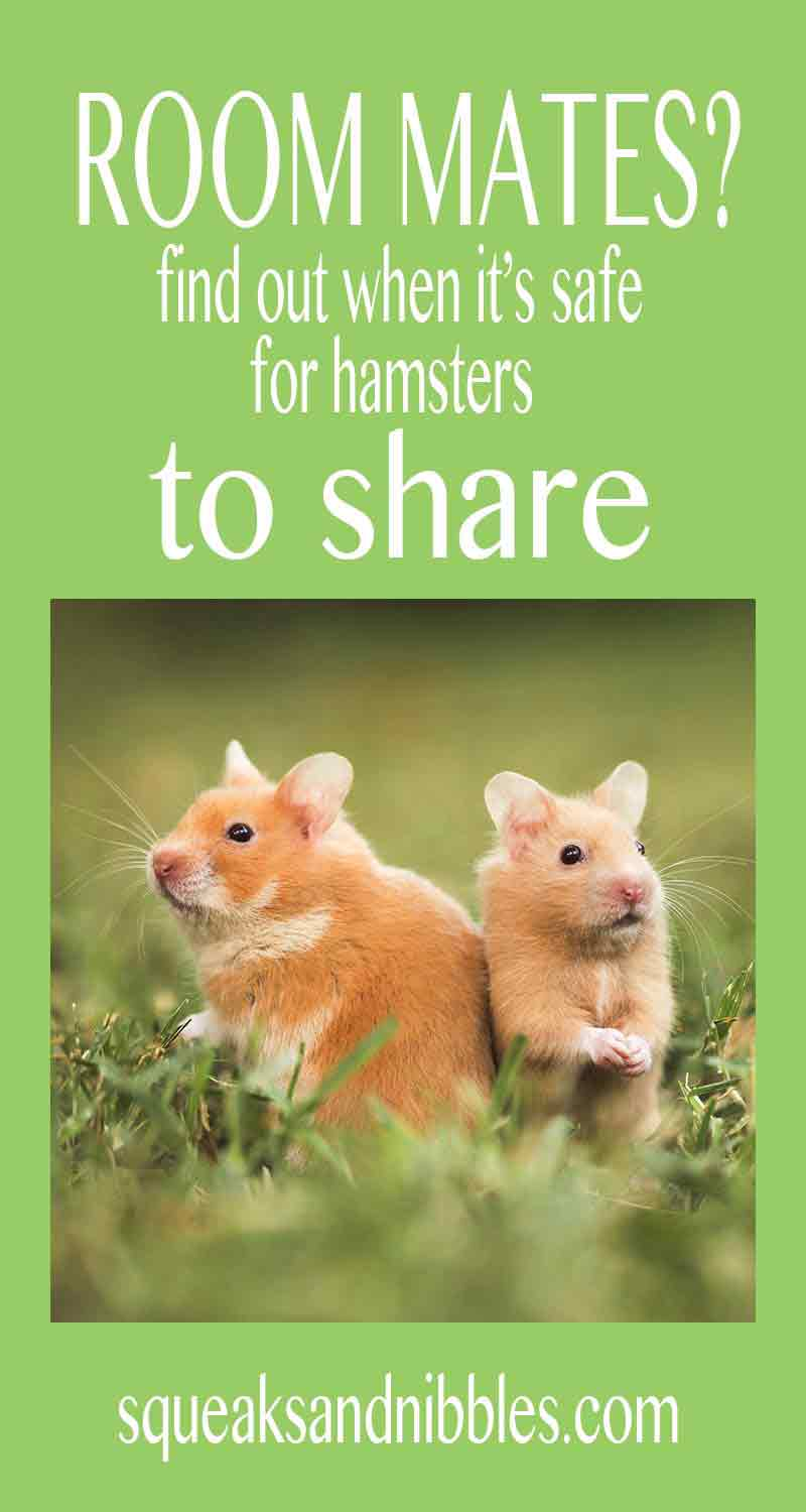 We look at room mates for hamsters! Can two hamsters live together sometimes? Or are they destined to be alone