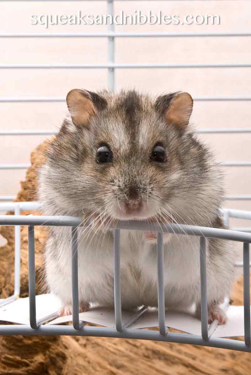 Can dwarf hamsters live together? Find out in this article
