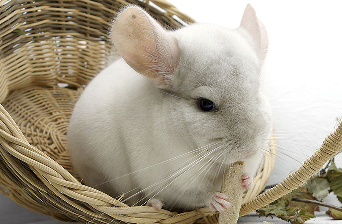 chinchillas as pets