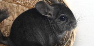Where do chinchillas come from?