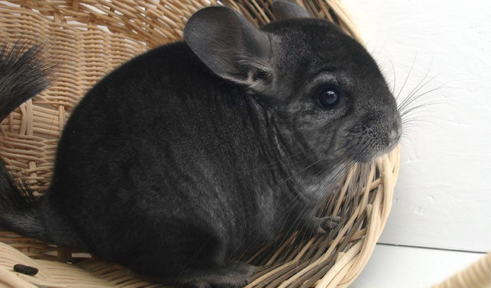 Where do chinchillas come from?