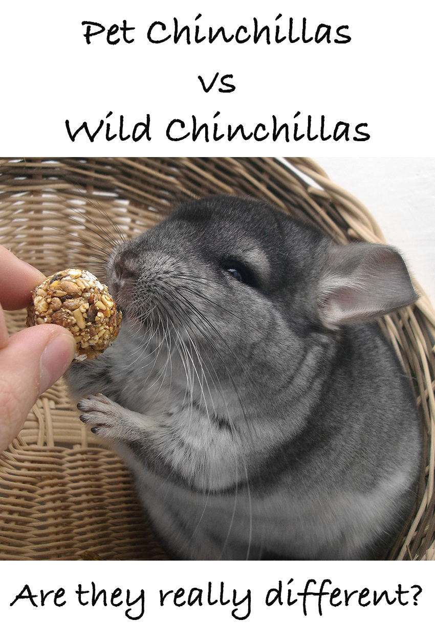 pet chinchillas vs wild chinchillas - what's the difference?