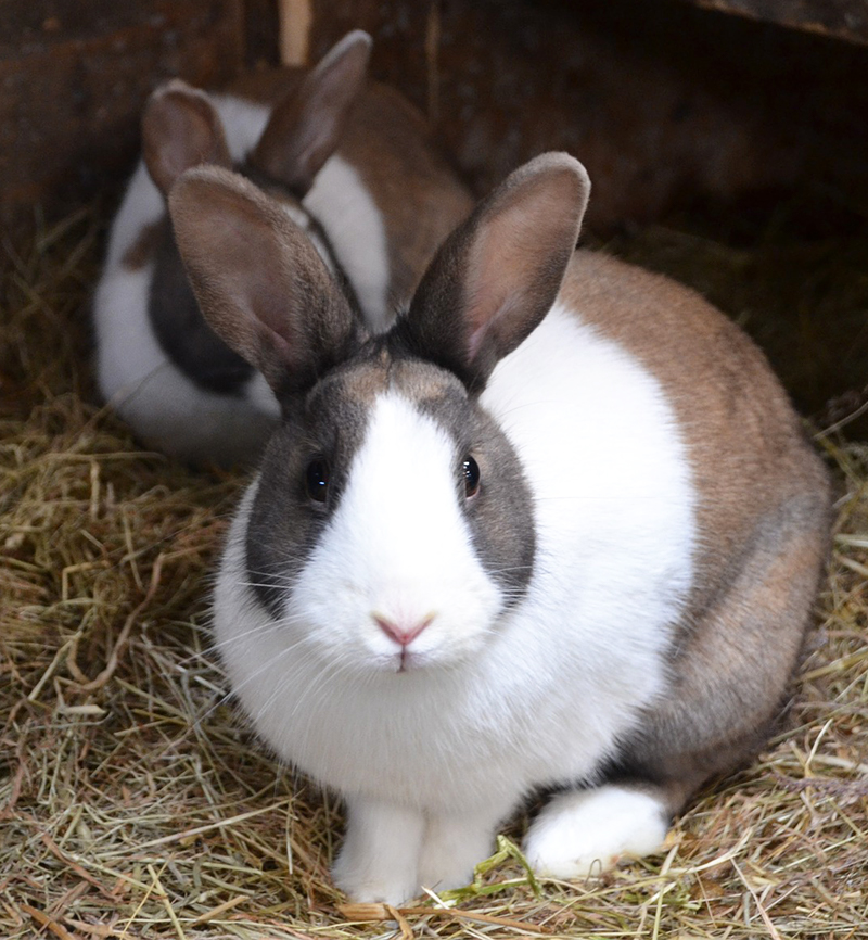 dutch rabbits as pets