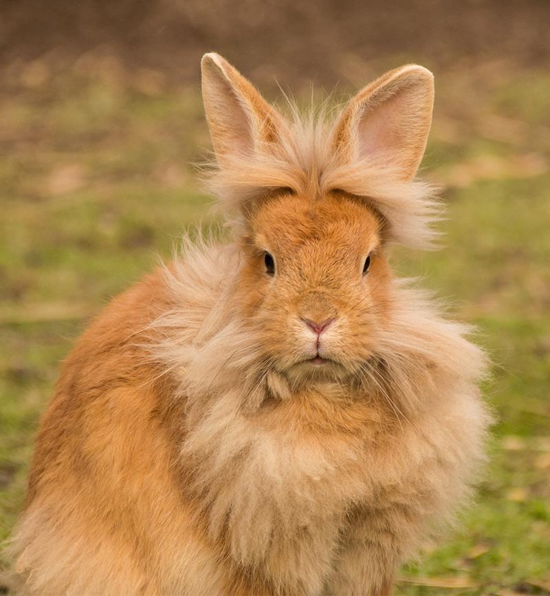 lionhead rabbits as pets