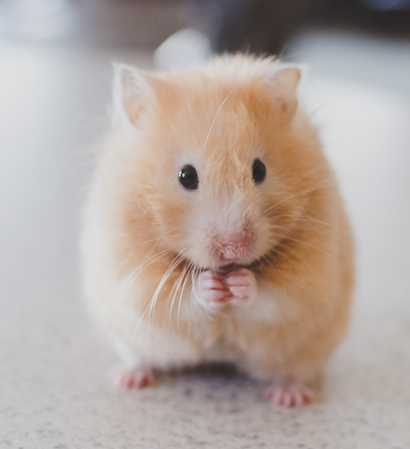 syrian hamsters as pets