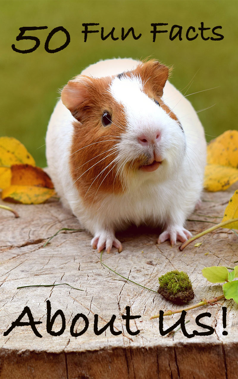 50 Fun Facts About Guinea Pigs
