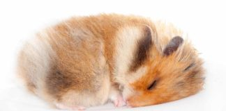 Do hamsters hibernate
