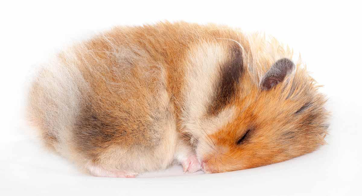 Do Hamsters Hibernate? A Guide To Hamster Hibernation
