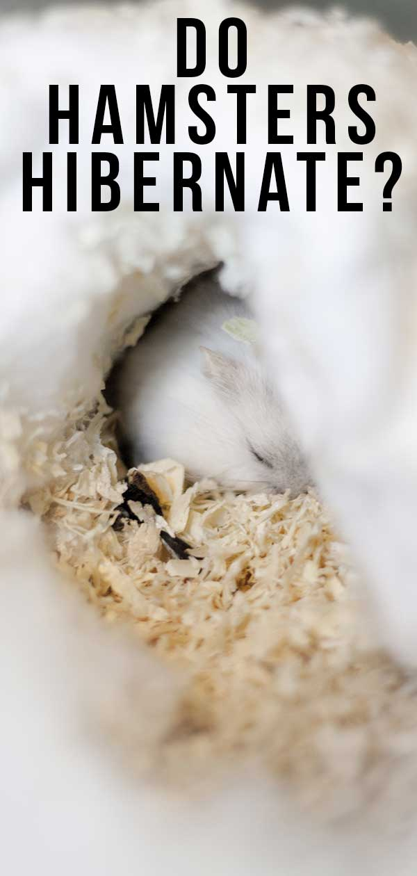 Do Hamsters Hibernate? A Guide To Hamster Hibernation