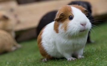 Girl guinea pig names