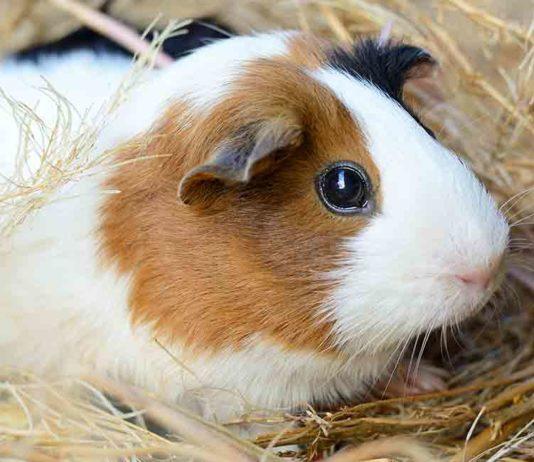 how long do guinea pigs live