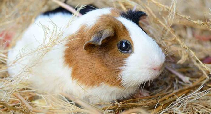 how long do guinea pigs live