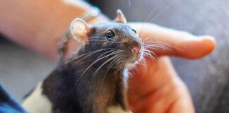 pet rat care