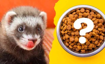 what to feed ferrets