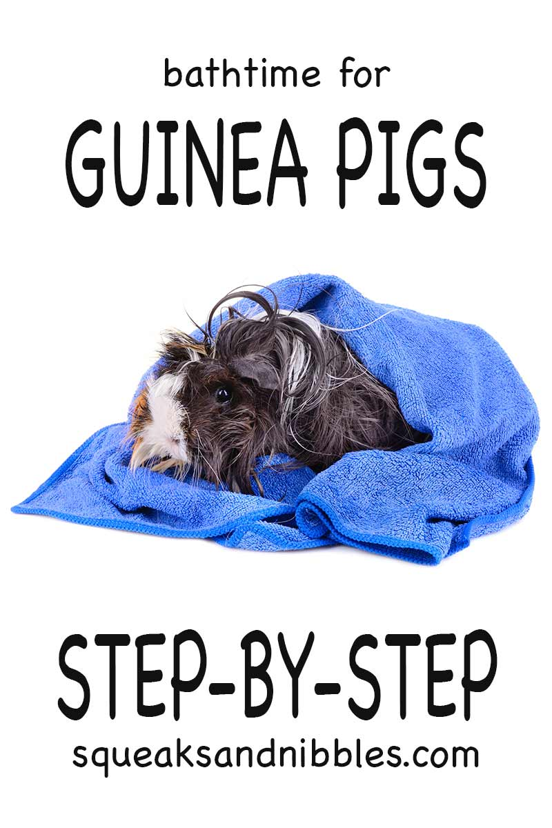 Can you give guinea pigs a bath? Yes you can, but follow these instructions to keep your piggies safe