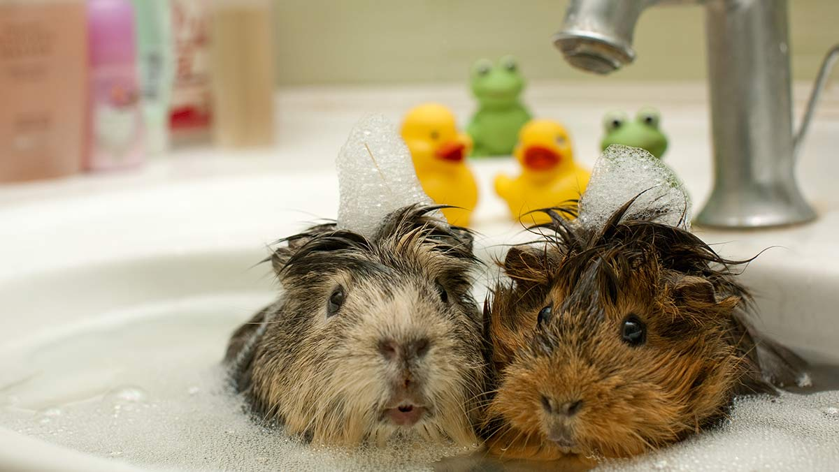 Can You Give Guinea Pigs A Bath Top Tips And Step By Step Guide