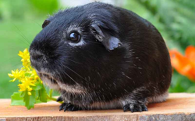 Black Guinea Pig Names For Girls. 200 Great Girl Guinea Pig Names