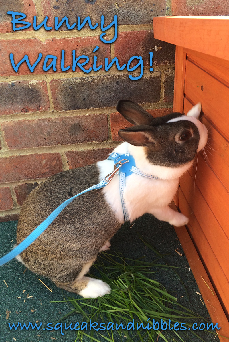 Bunny on a leash! Learn how to take your rabbit for a walk with my very own Dutch rabbit Coco.