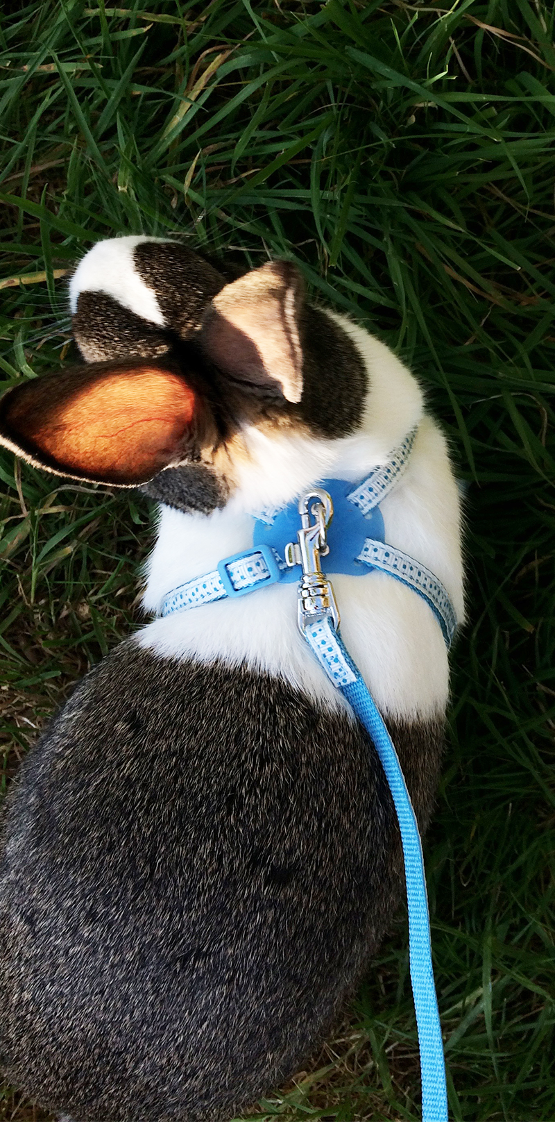 Bunny on a leash - using a rabbit harness to go rabbit walking