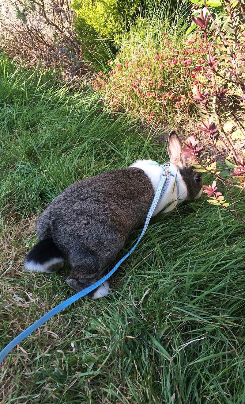 Bunny on a leash - Can you take a rabbit for a walk?
