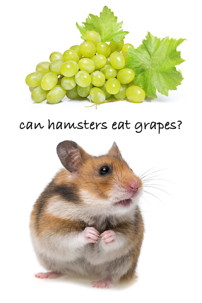 Can Hamsters Eat Grapes? Find Out In This Complete Guide