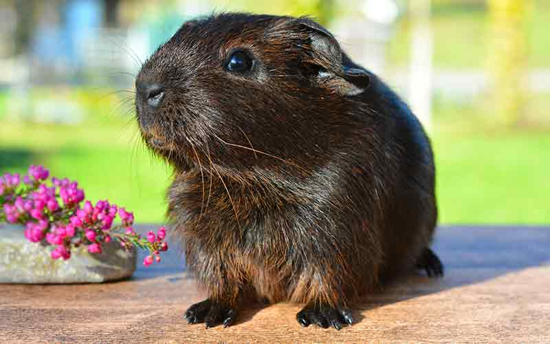 Girl Guinea Pig Names: Over 200 Great Names For Female Guinea Pigs