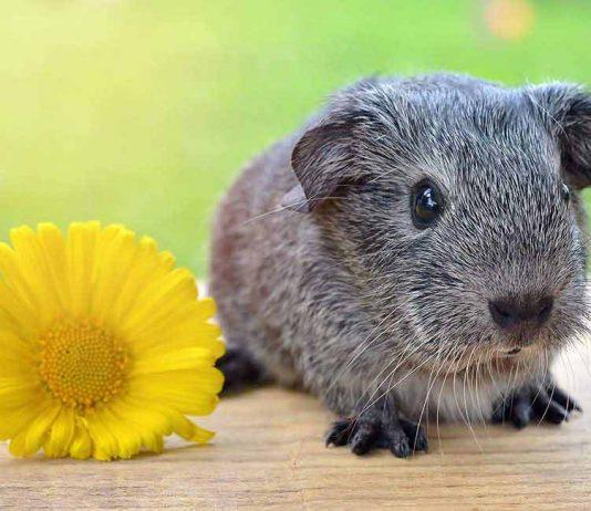 cute guinea pig names