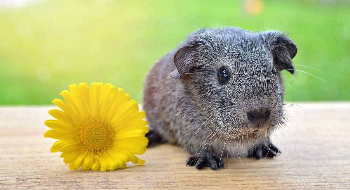 Cute Guinea Pig Names - 200 Unique Names To Choose From