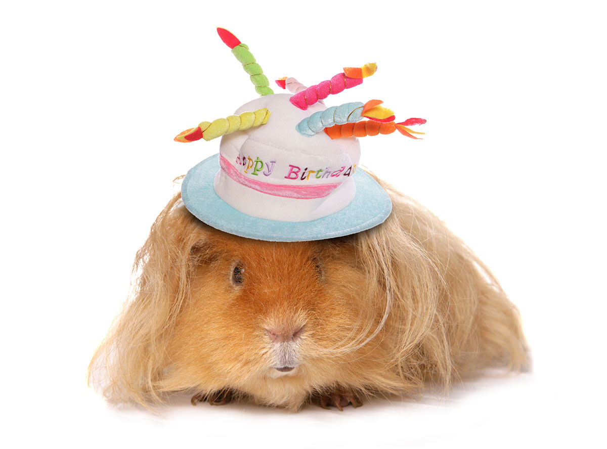 cute guinea pig birthday hat