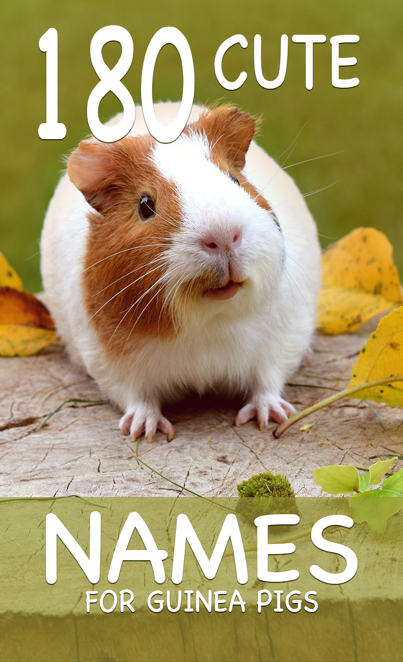 Cute guinea pig names - loads of ideas for naming your favorite small pet