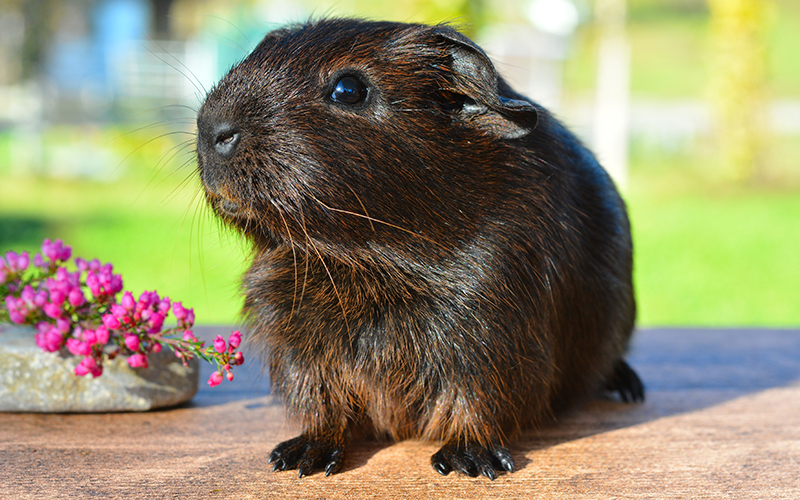 Cute Girl Guinea Pig Names. 200 Great Girl Guinea Pig Names