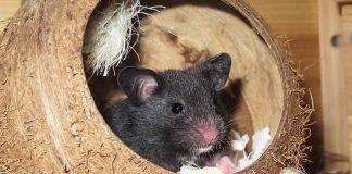 Do hamsters hibernate?