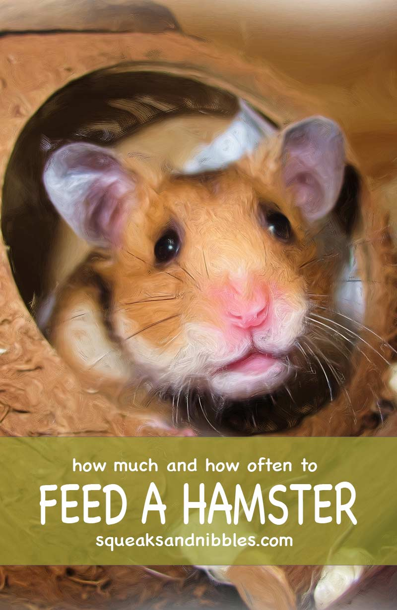 Tips and advice on how often do I feed my hamster
