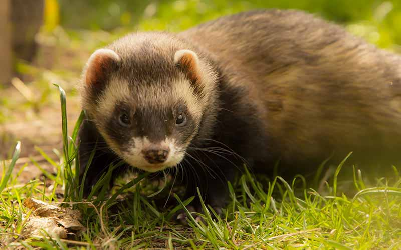 what can i feed my ferret
