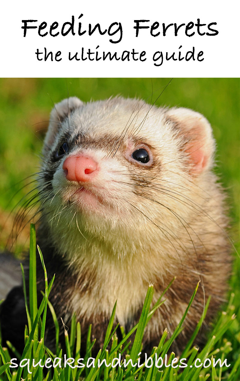 What can i feed my ferret? A Ferret Feeding Guide