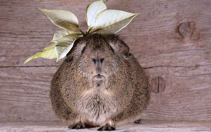 Funny Girl Names For Guinea Pigs. 200 Great Girl Guinea Pig Names